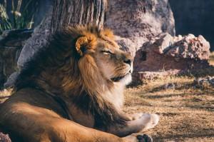 Lion_noah-grezlak-66413